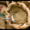 Indonesien Java (Rå kaffe)